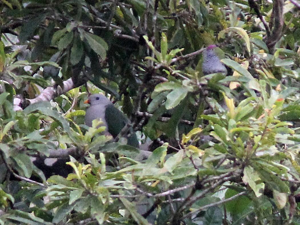 Banggai Fruit-Dove - Ashley Banwell