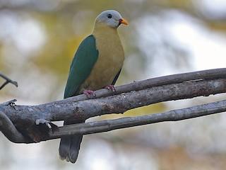 - Sula Fruit-Dove