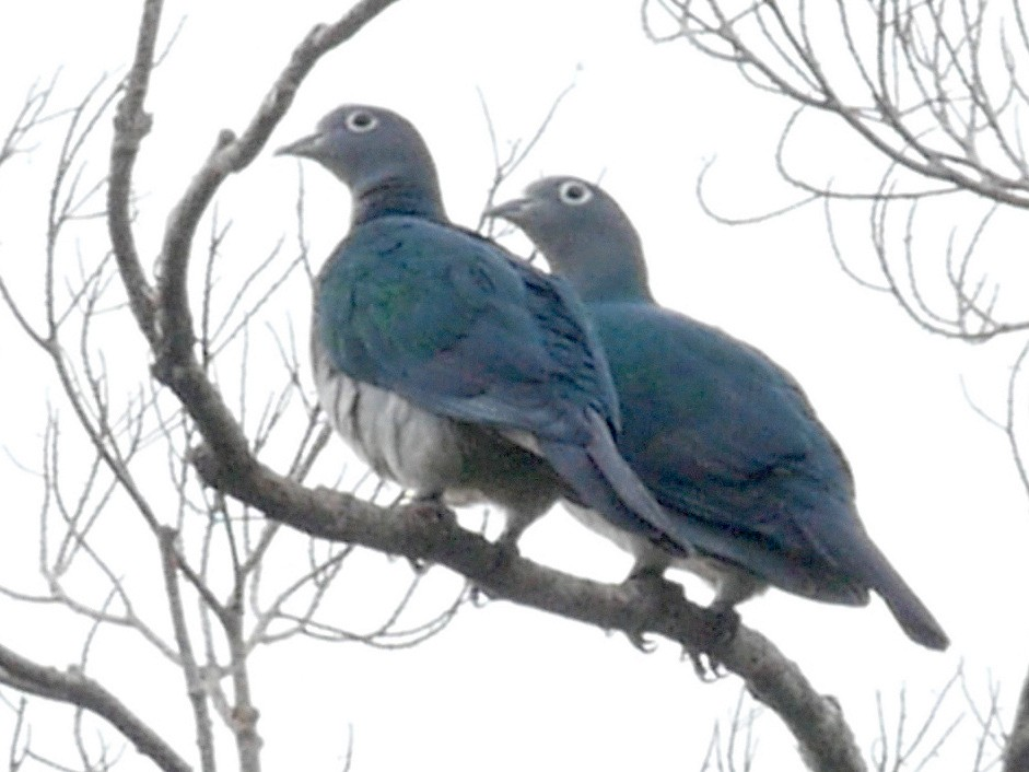 Spectacled Imperial-Pigeon - Josep del Hoyo
