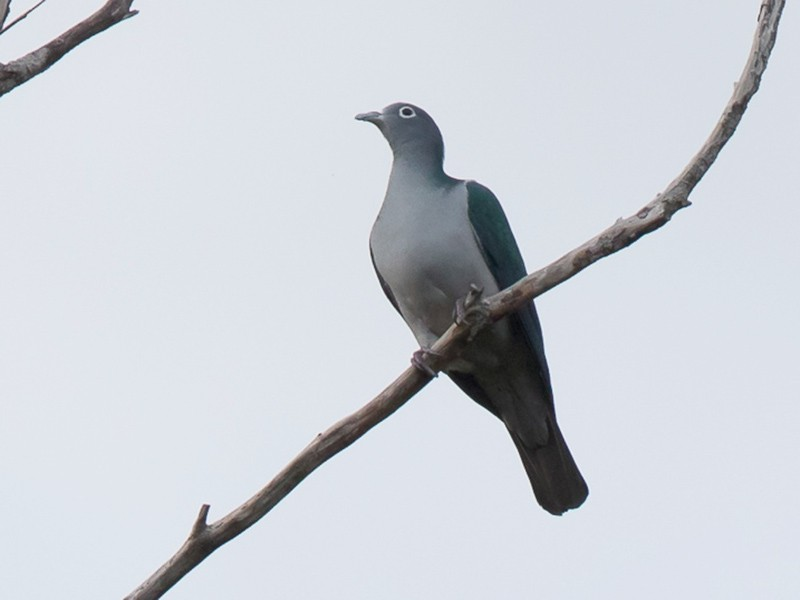 Spectacled Imperial-Pigeon - Frédéric PELSY