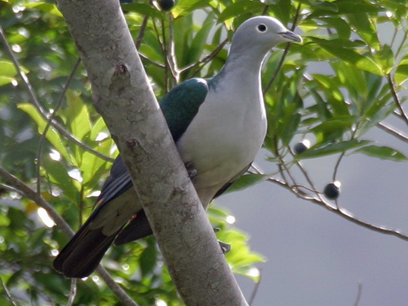 Spectacled Imperial-Pigeon - Simon Colenutt