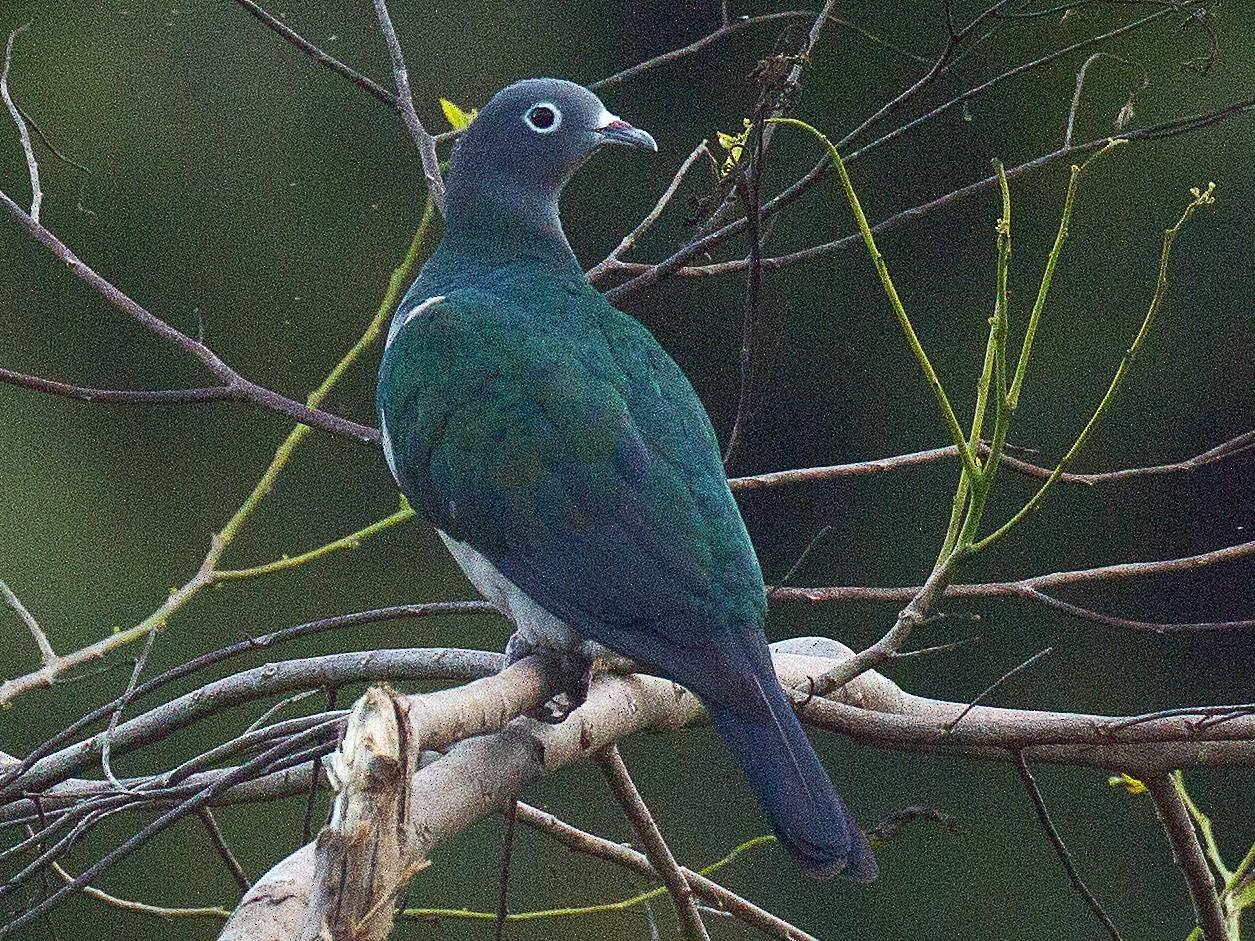 Spectacled Imperial-Pigeon - Eric VanderWerf