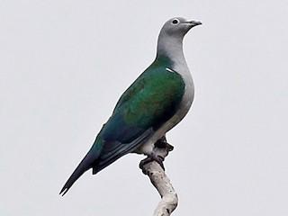 - Seram Imperial-Pigeon