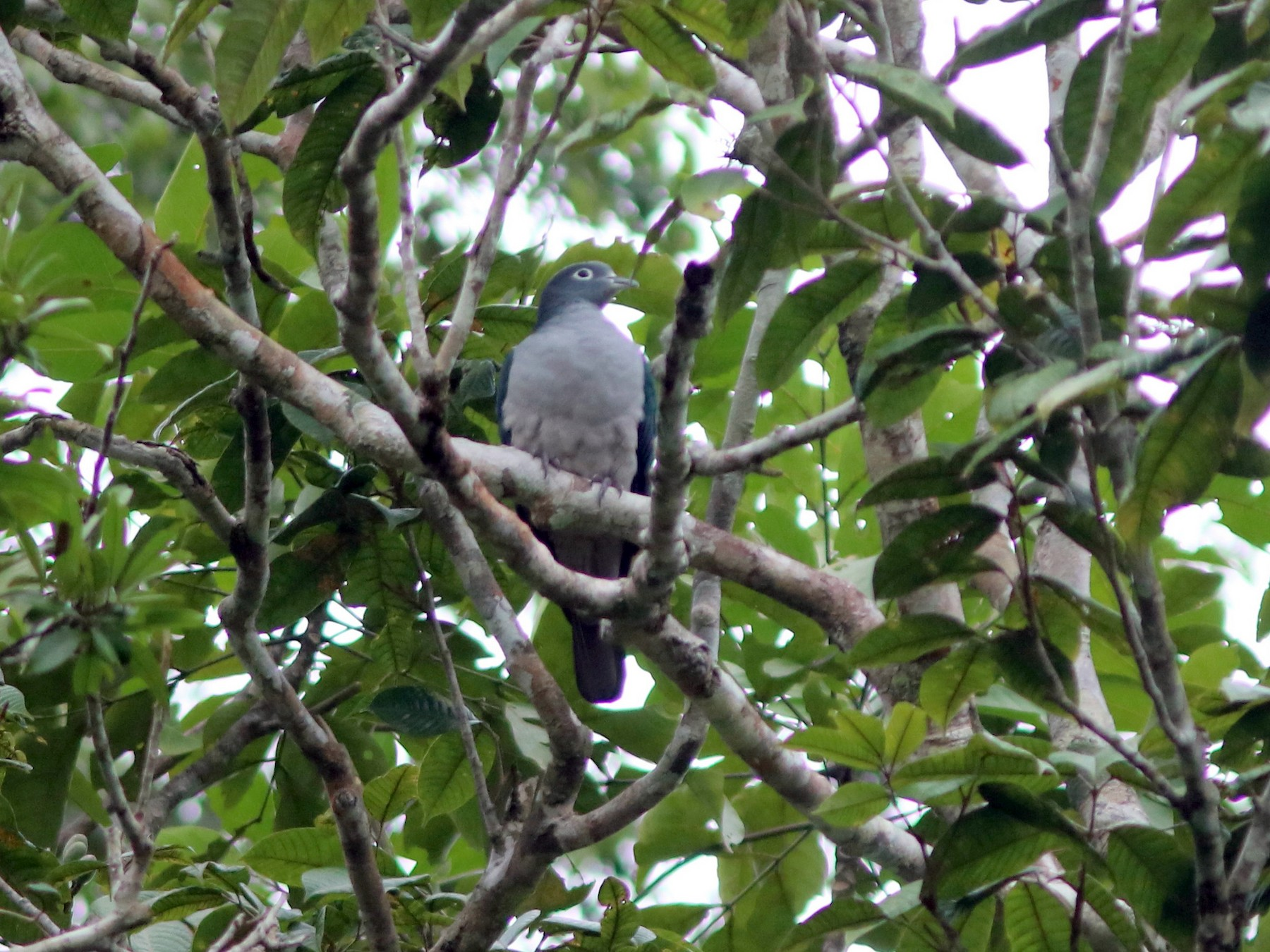 Spectacled Imperial-Pigeon - John Drummond