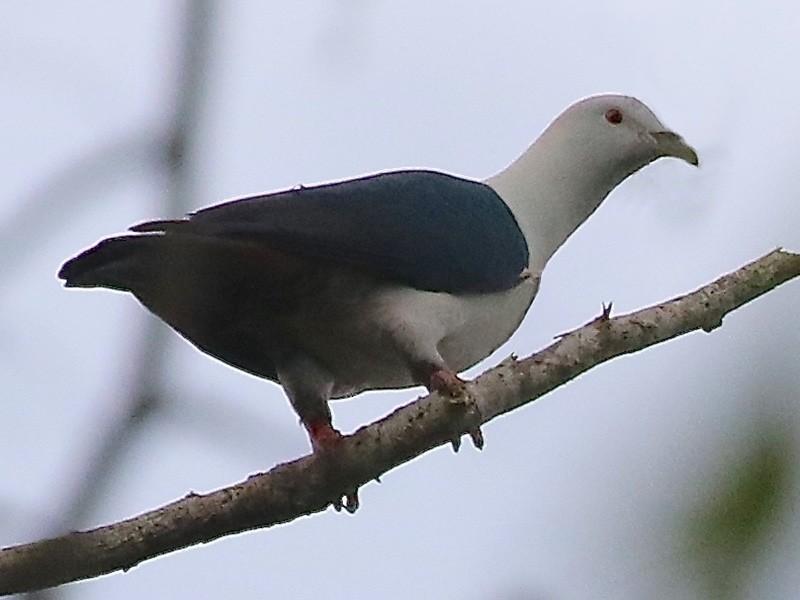 Elegant Imperial-Pigeon - Mark Sutton