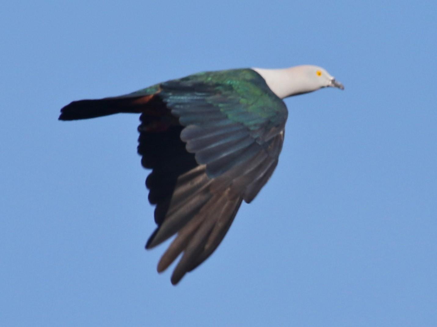 Elegant Imperial-Pigeon - Gil Ewing