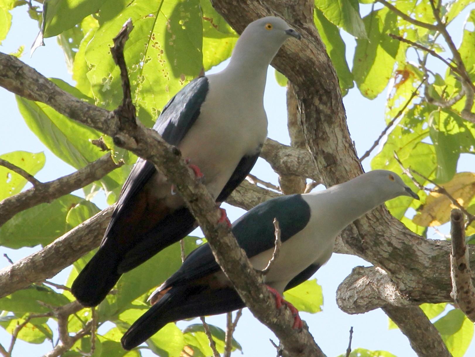 Elegant Imperial-Pigeon - Colin Trainor