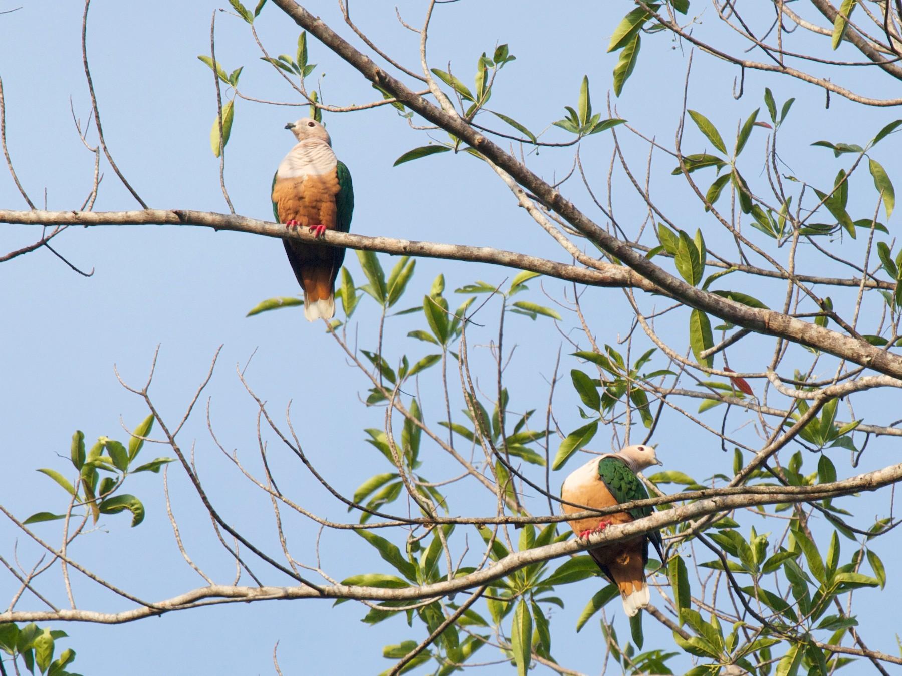 Cinnamon-bellied Imperial-Pigeon - Eric Barnes