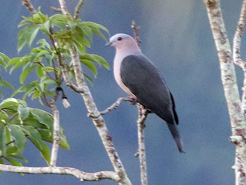 Dark-backed Imperial-Pigeon - Tim Avery