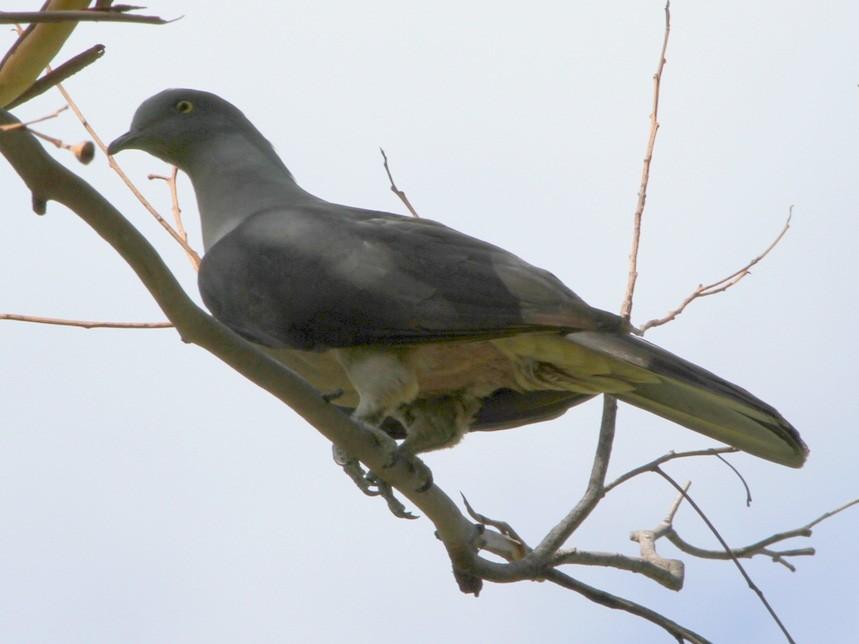 Timor Imperial-Pigeon - Colin Trainor