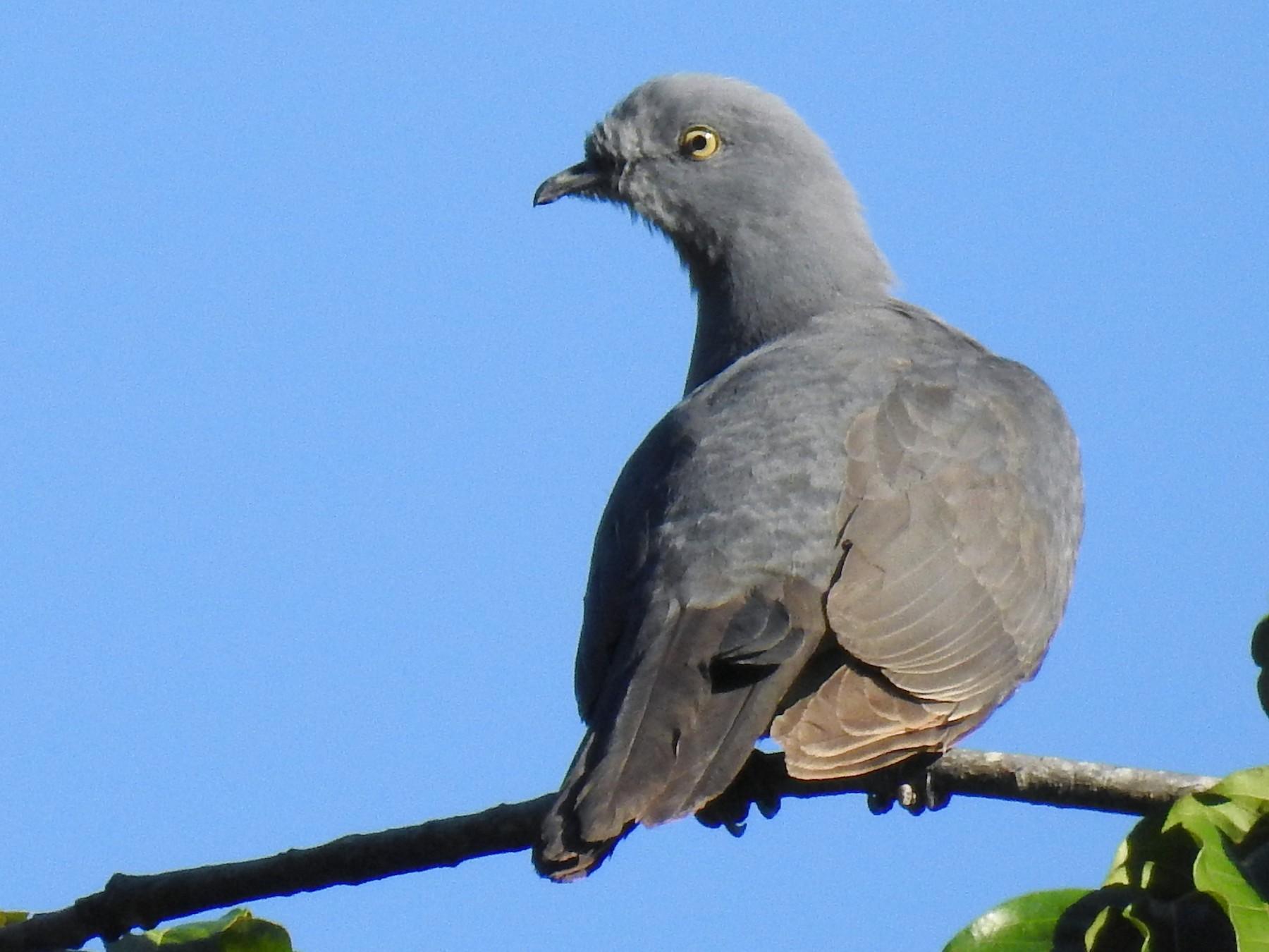 Timor Imperial-Pigeon - Pam Rasmussen