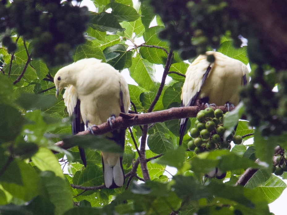 Silver-tipped Imperial-Pigeon - Qin Huang