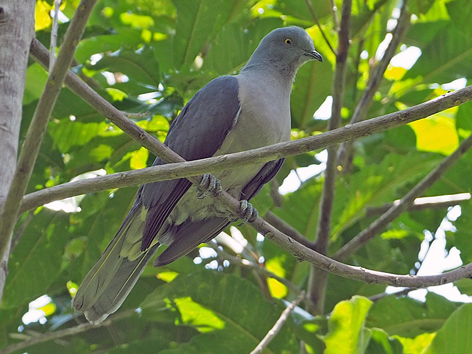 Timor Imperial-Pigeon - James Eaton