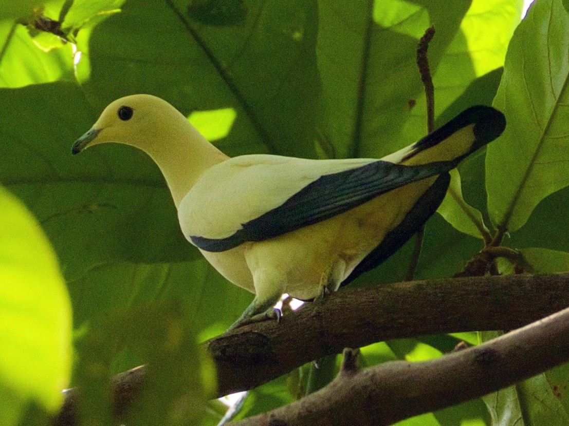 Silver-tipped Imperial-Pigeon - Scott Baker