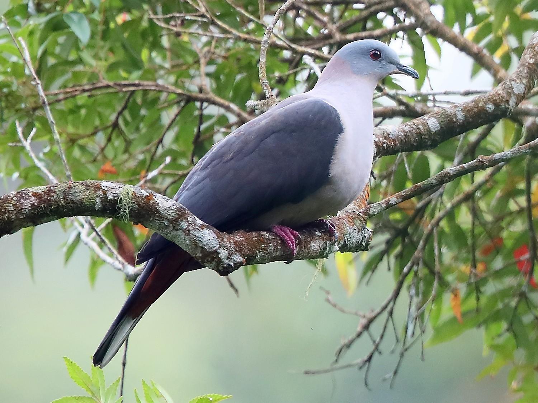 Dark-backed Imperial-Pigeon - Carlos Bocos