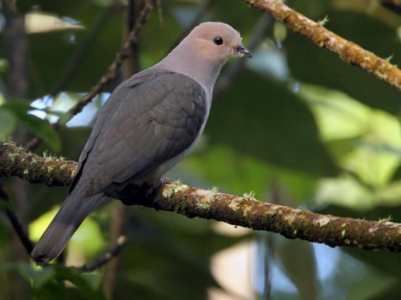 Dark-backed Imperial-Pigeon - Lars Petersson
