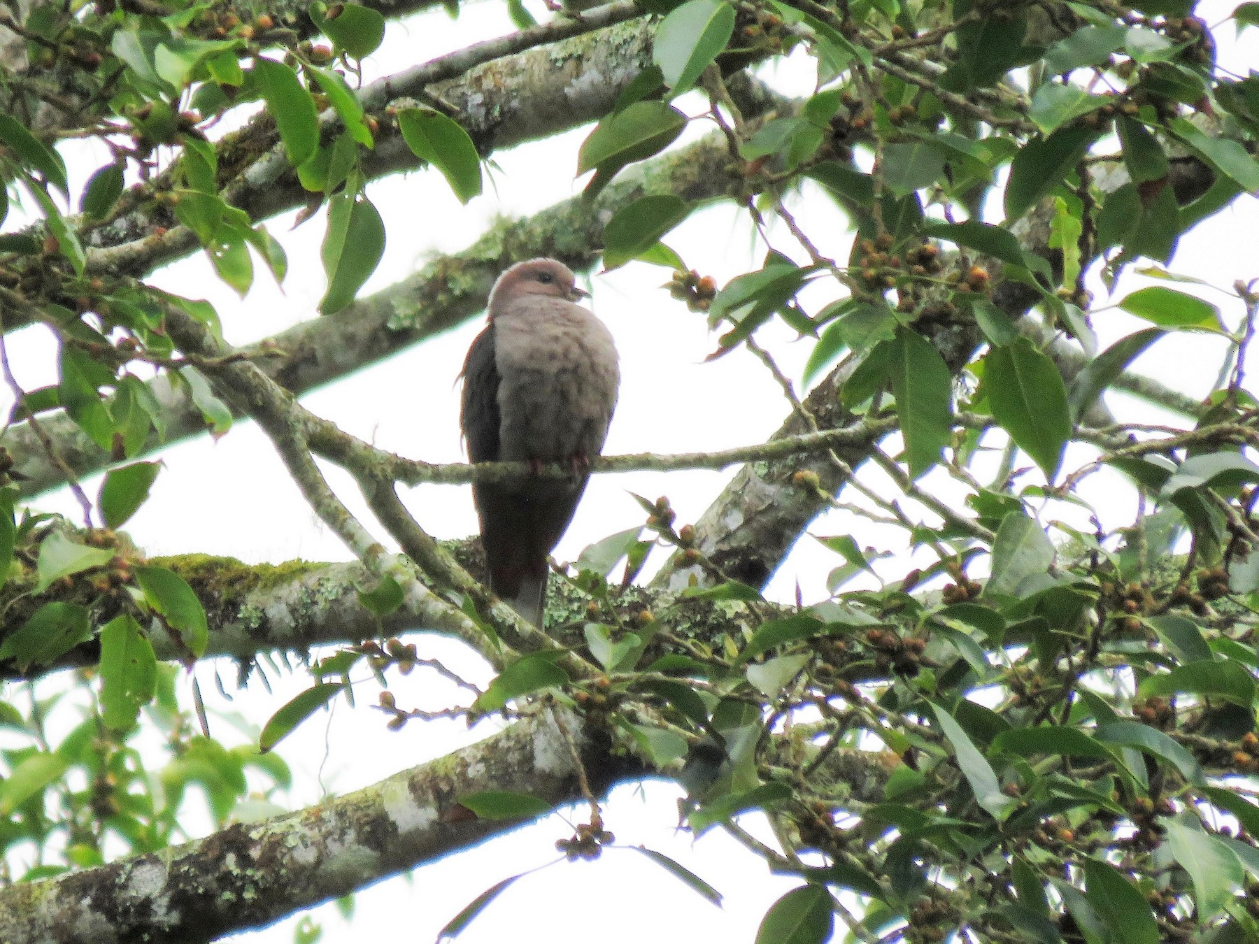 Dark-backed Imperial-Pigeon - Bosco Chan