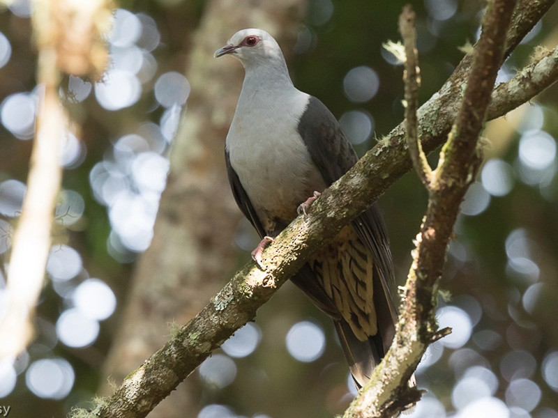 Sombre Pigeon - Frédéric PELSY