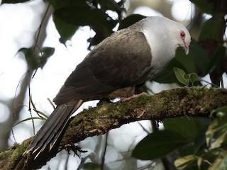 - Sombre Pigeon