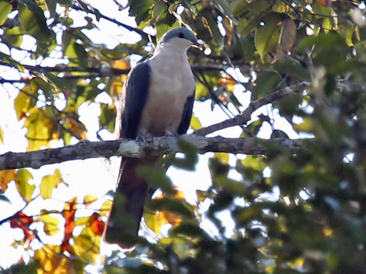 Buru Mountain-Pigeon - Phillip Edwards