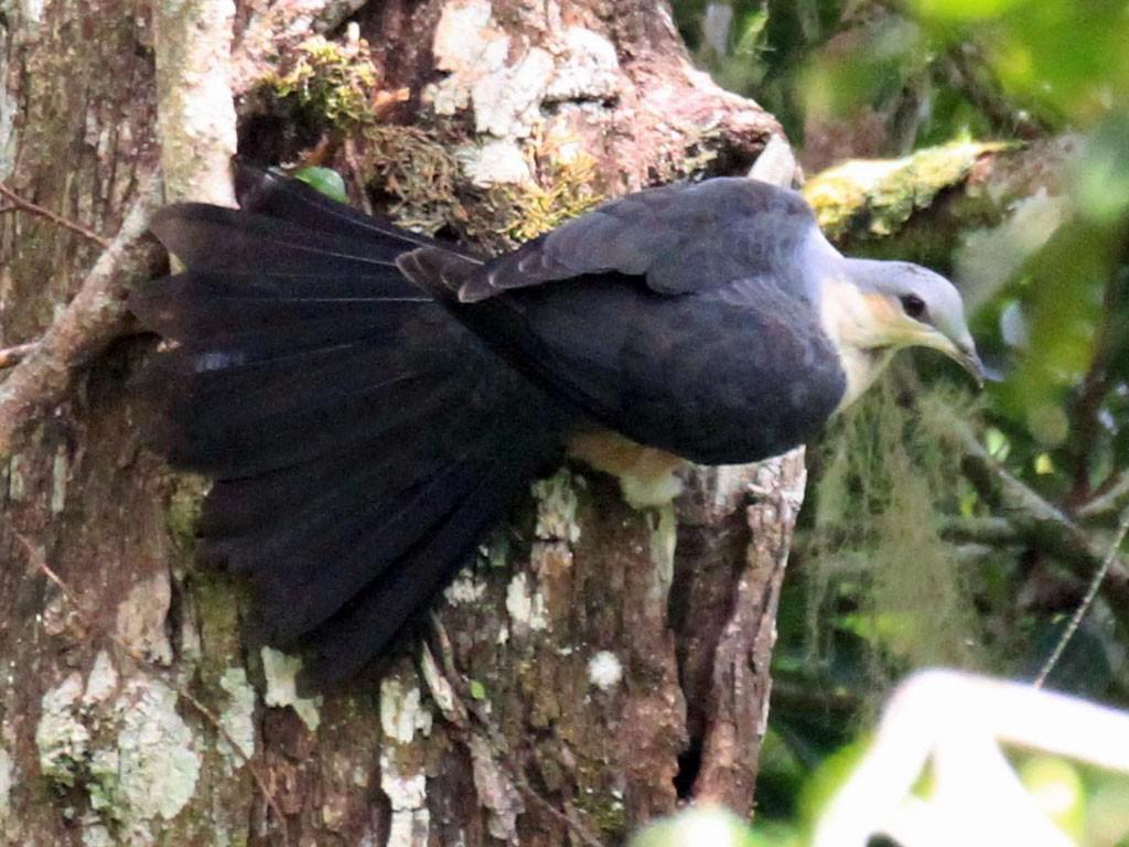 Buru Mountain-Pigeon - Charles Davies
