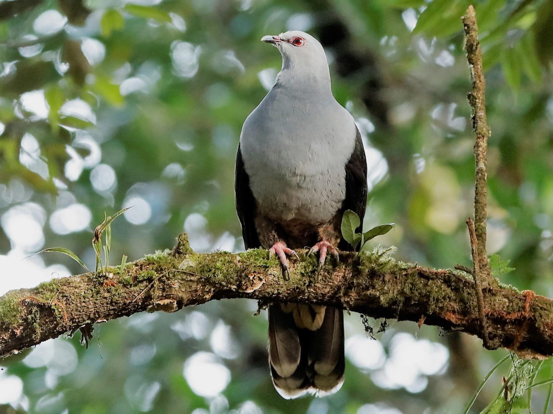 Sombre Pigeon - Holger Teichmann