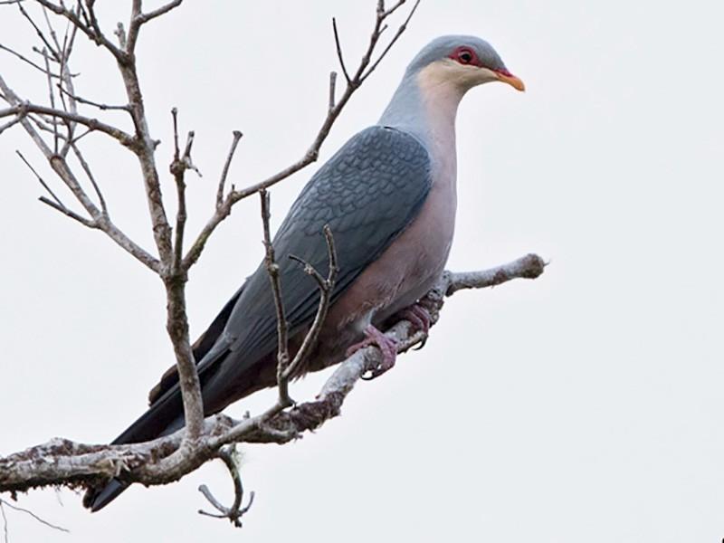 Seram Mountain-Pigeon - Dubi Shapiro