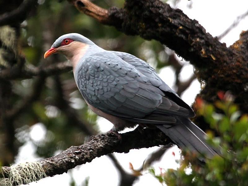 Seram Mountain-Pigeon - Robert Hutchinson