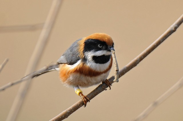 Black-throated Tit with caterpillar prey.