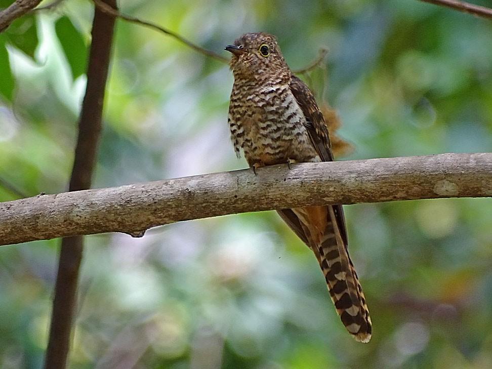 Moluccan Cuckoo - Jens Thalund