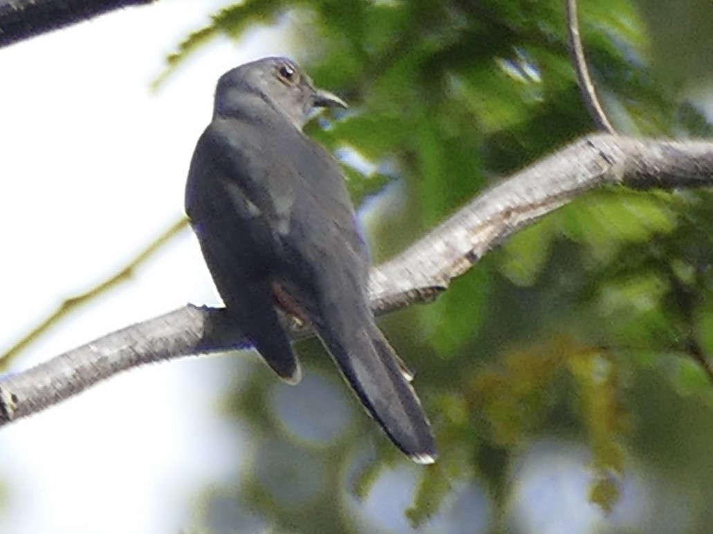 Moluccan Cuckoo - Peter Kaestner