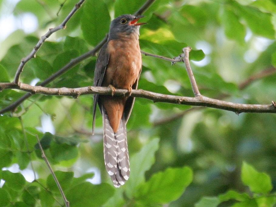 Moluccan Cuckoo - Simon Colenutt