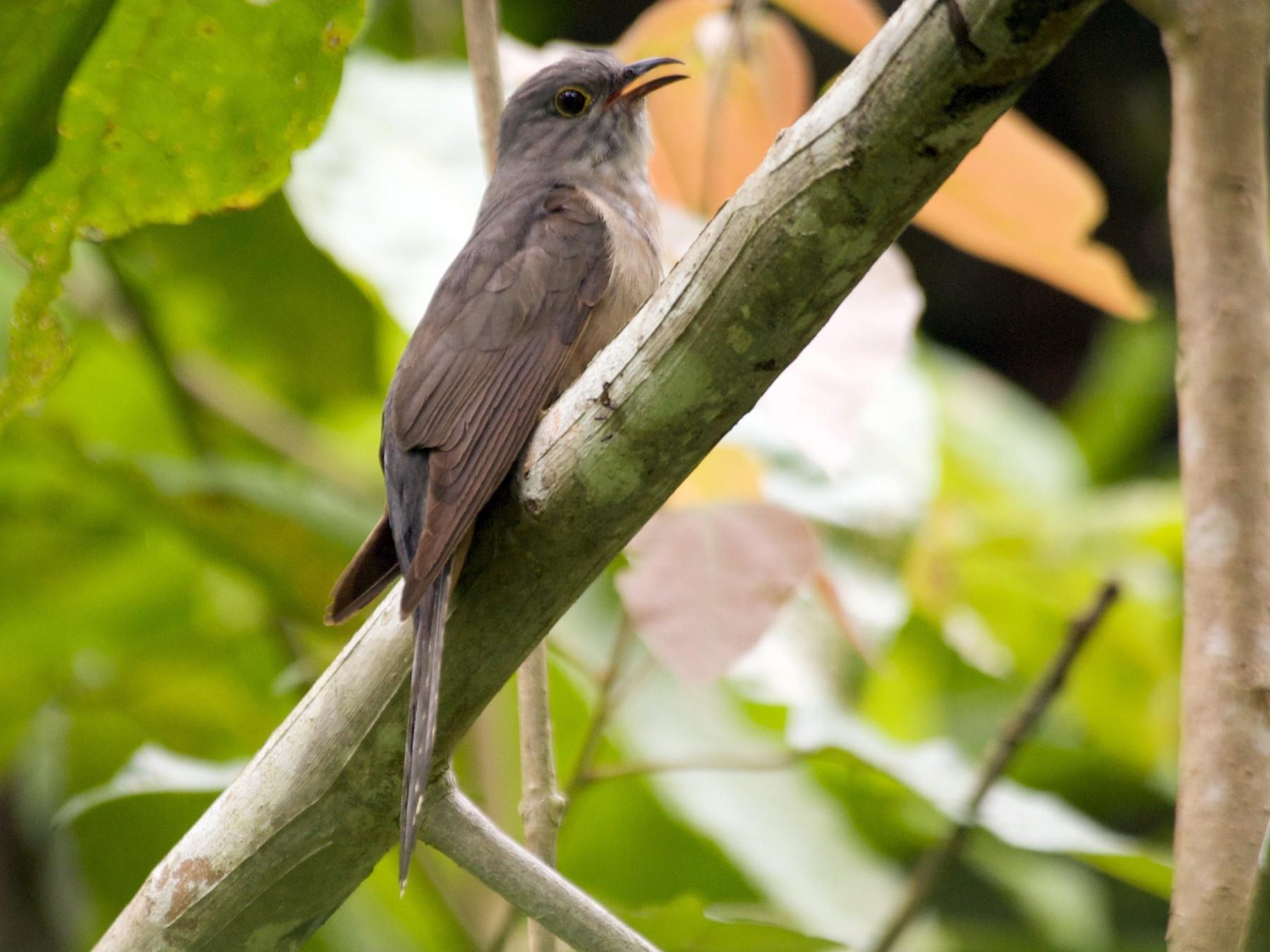 Moluccan Cuckoo - John C. Mittermeier