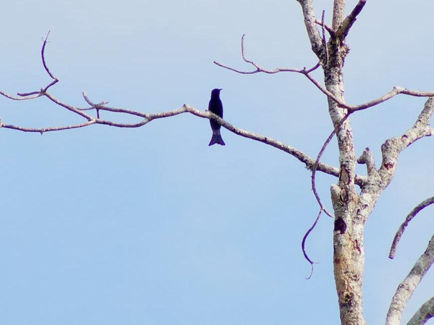 Moluccan Drongo-Cuckoo - Opwall Indonesia