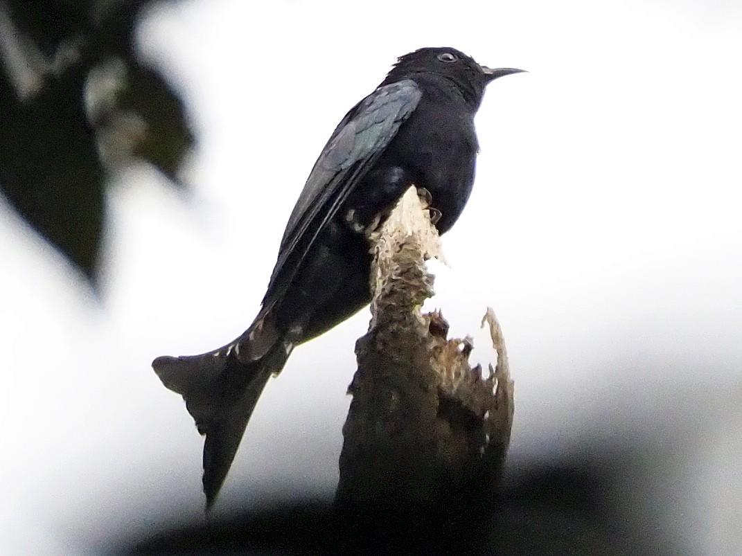 Moluccan Drongo-Cuckoo - Andrew Spencer
