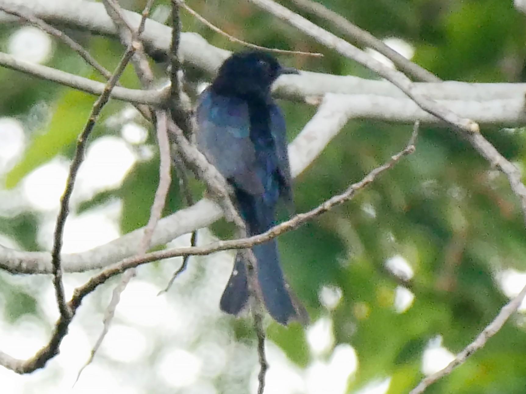 Moluccan Drongo-Cuckoo - Josep del Hoyo