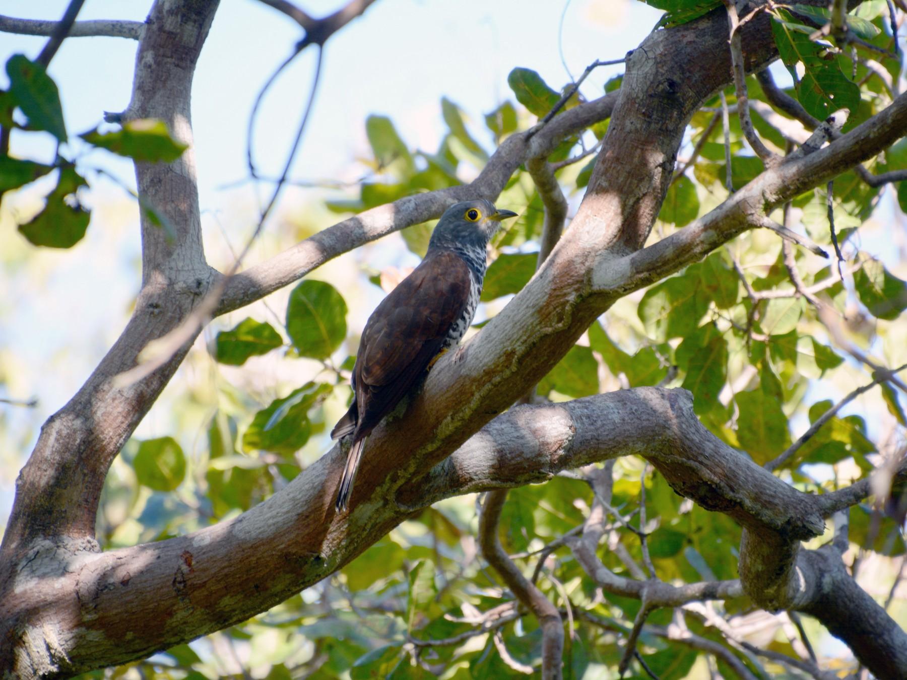 Sulawesi Cuckoo - Opwall Indonesia