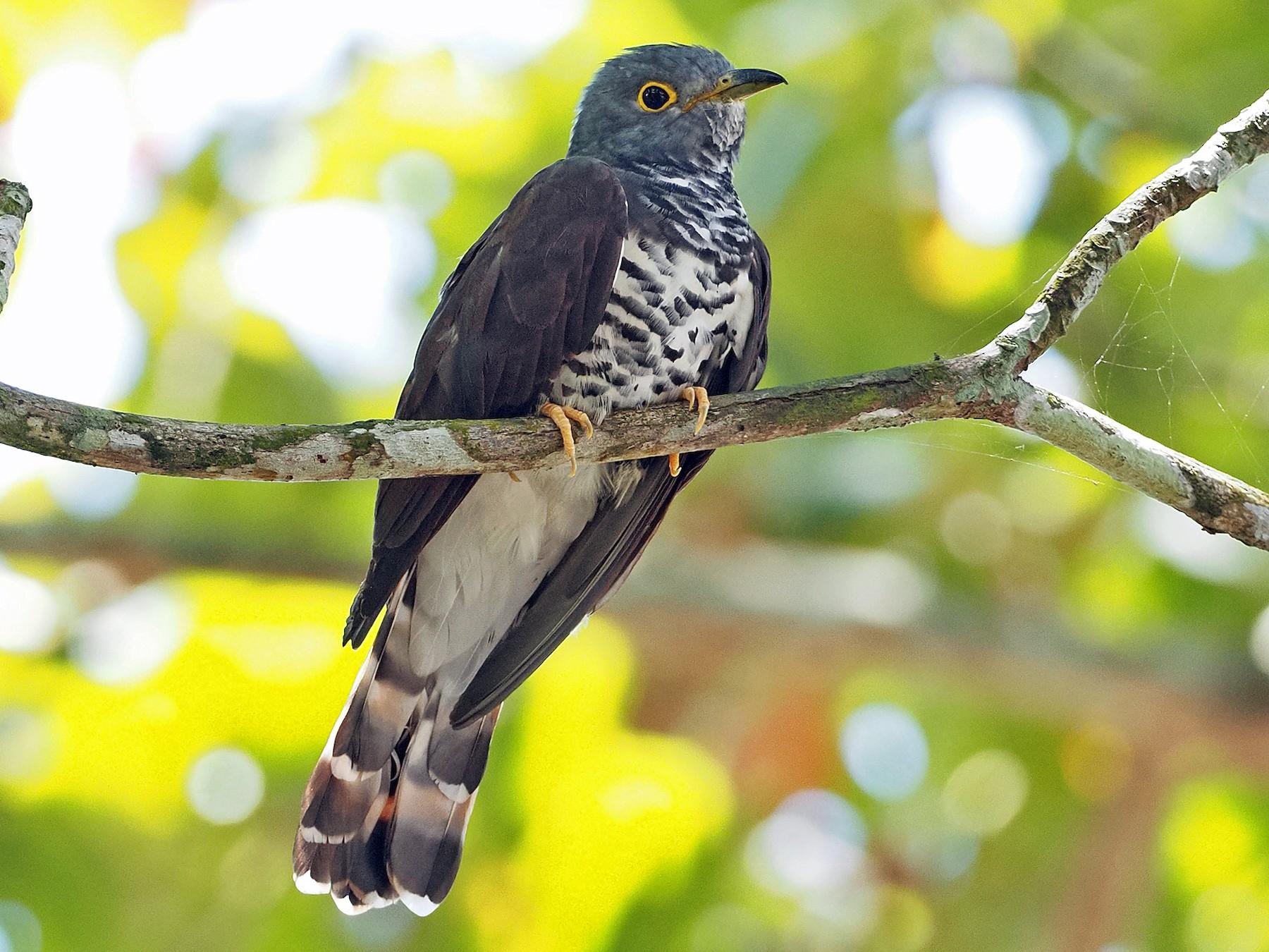 Sulawesi Cuckoo - Sam Woods