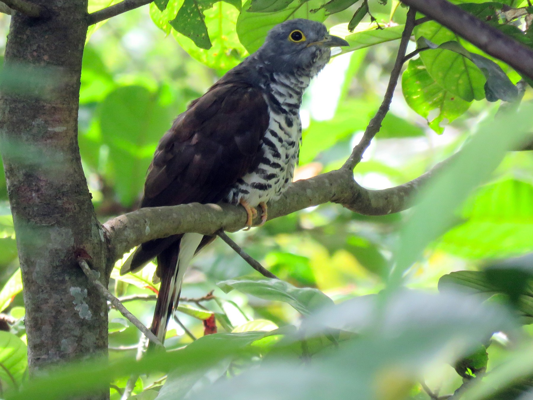 Sulawesi Cuckoo - Timothy Forrester