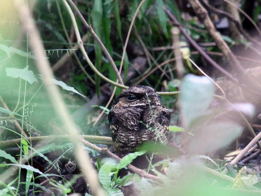 Sulawesi Nightjar - kensuke TANAKA