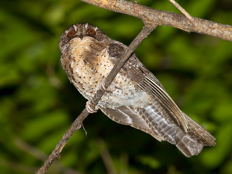 Moluccan Owlet-nightjar - Sam Woods
