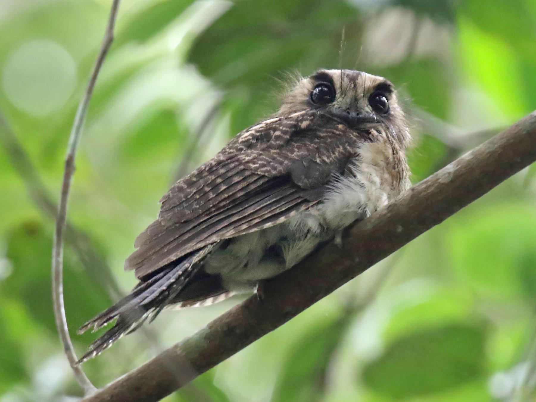 Vogelkop Owlet-nightjar - daniel lopez velasco