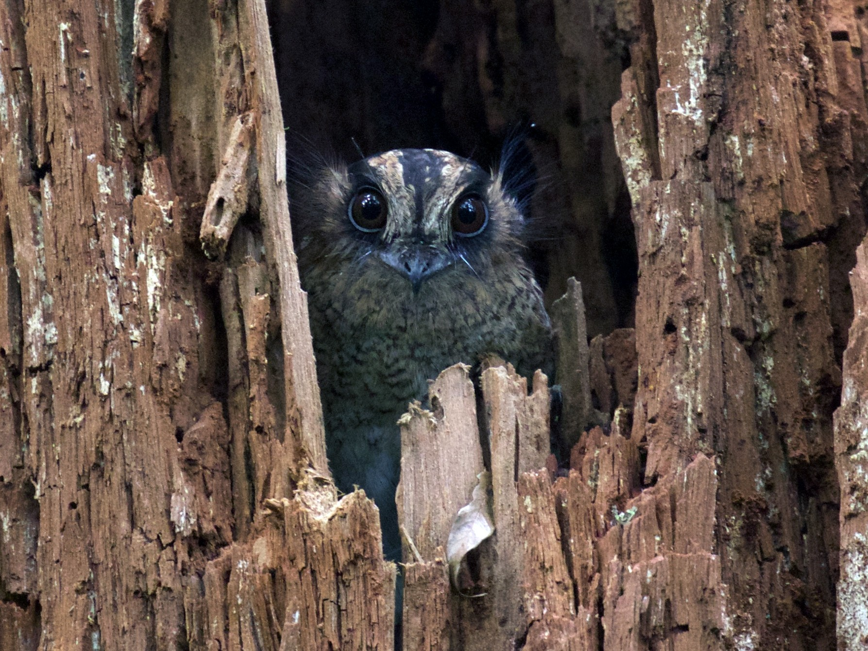 Vogelkop Owlet-nightjar - Stephan Lorenz