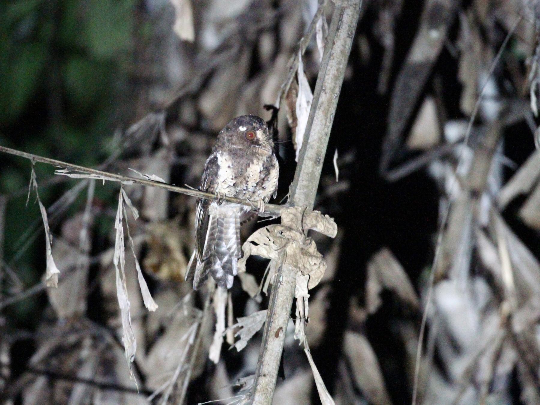 Moluccan Owlet-nightjar - Rainer Seifert