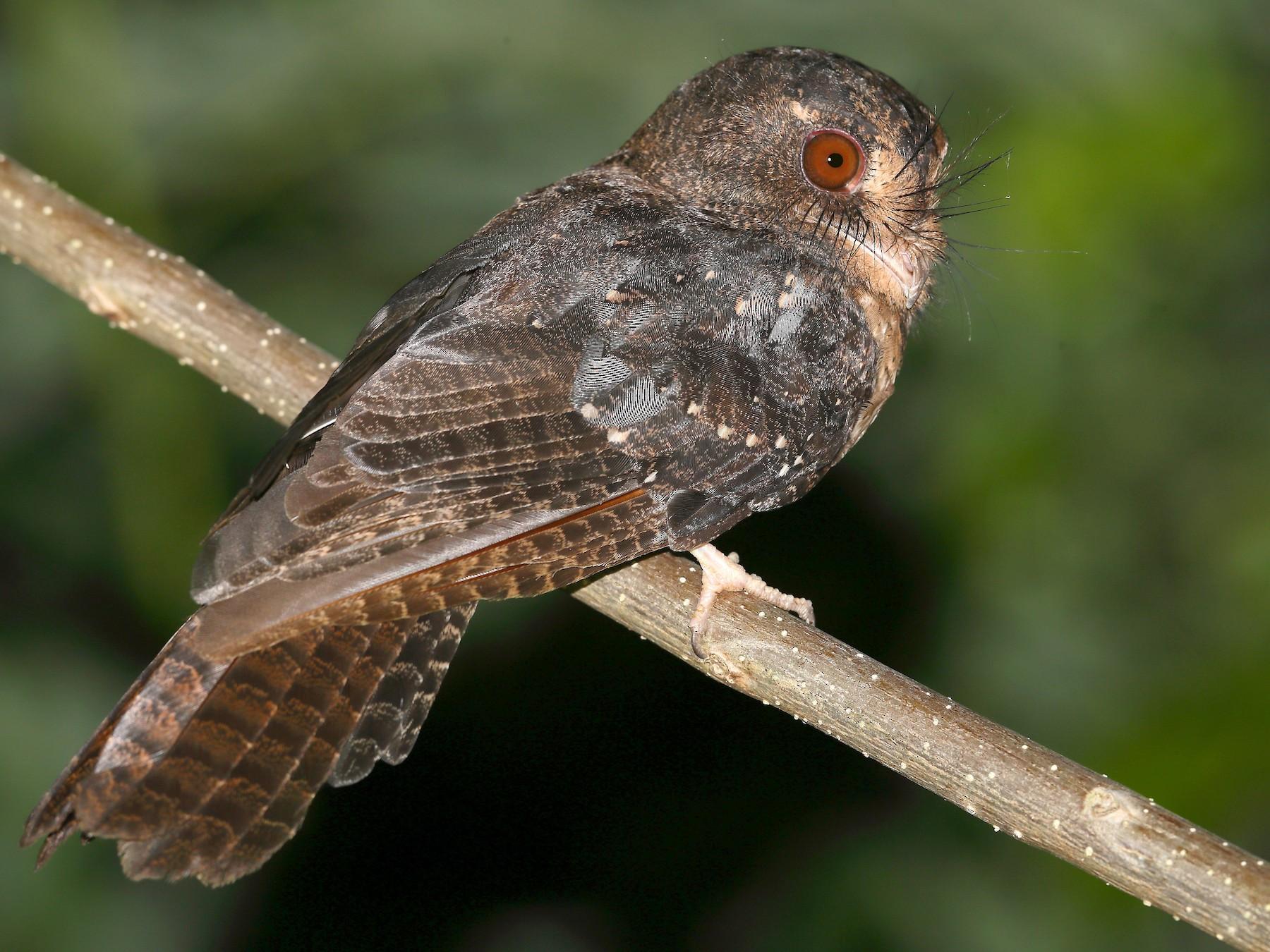 Moluccan Owlet-nightjar - Carlos Bocos