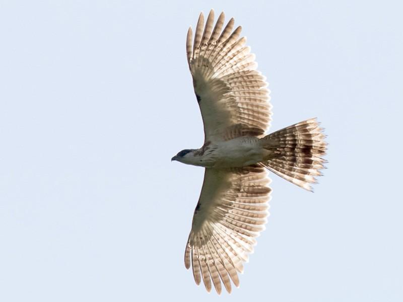 Sulawesi Honey-buzzard - Frédéric PELSY