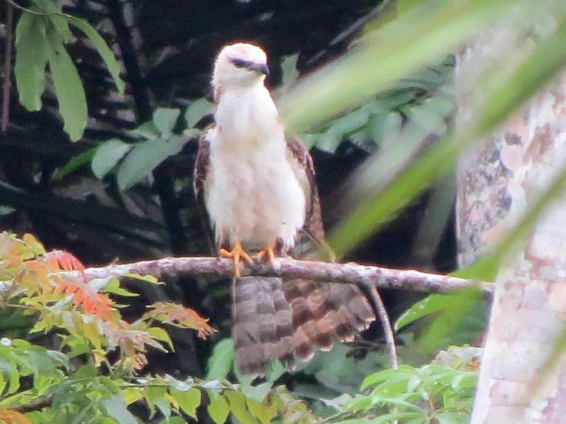Sulawesi Honey-buzzard - Rainer Seifert