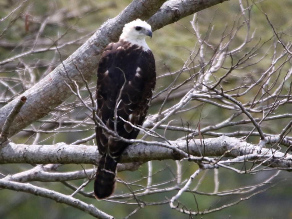 Flores Hawk-Eagle - Yovie Jehabut