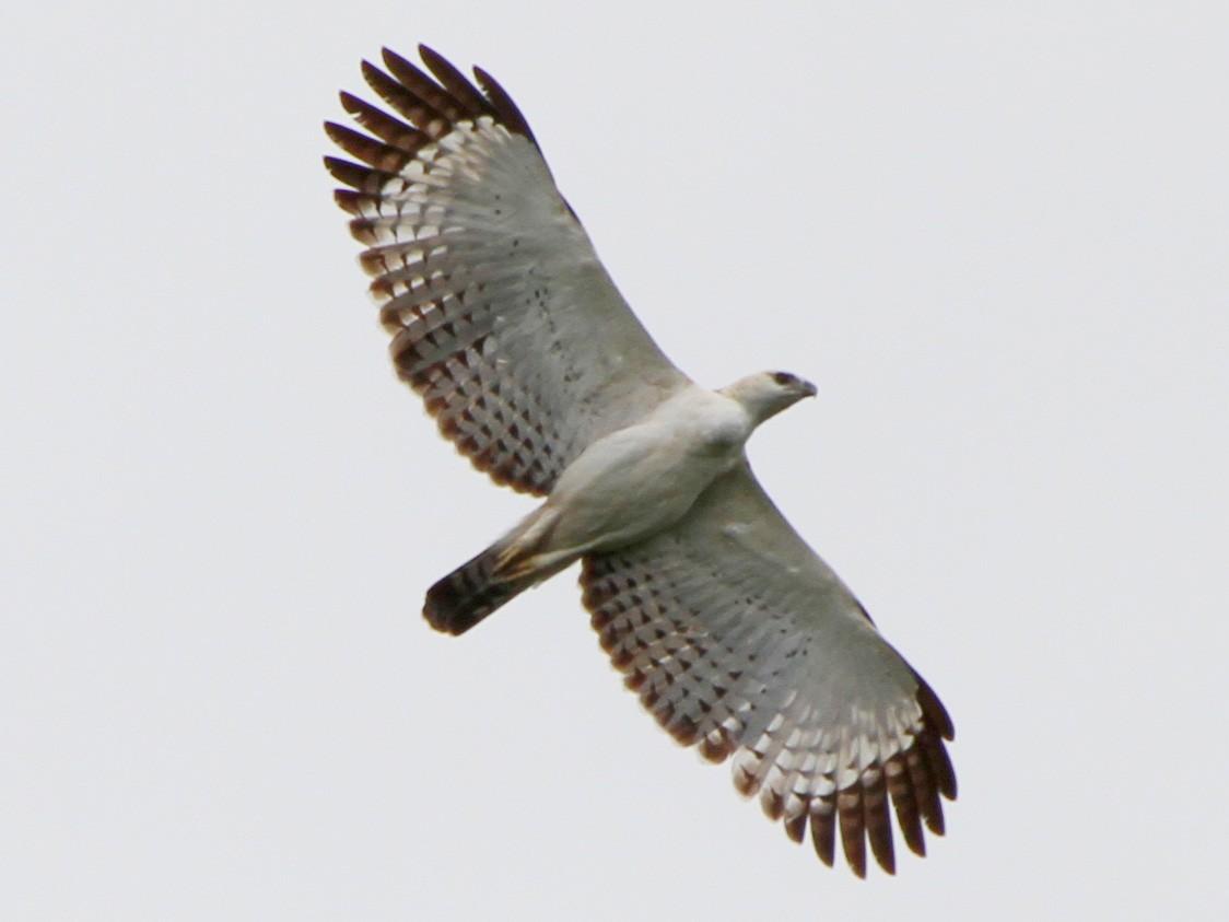 Flores Hawk-Eagle - Colin Trainor