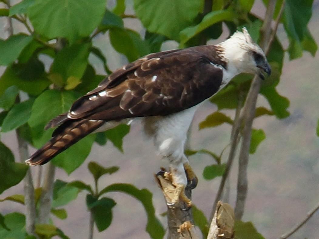 Flores Hawk-Eagle - abdul azis